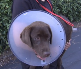 Ellie is recovering after being stung by bees in her backyard 155 times.