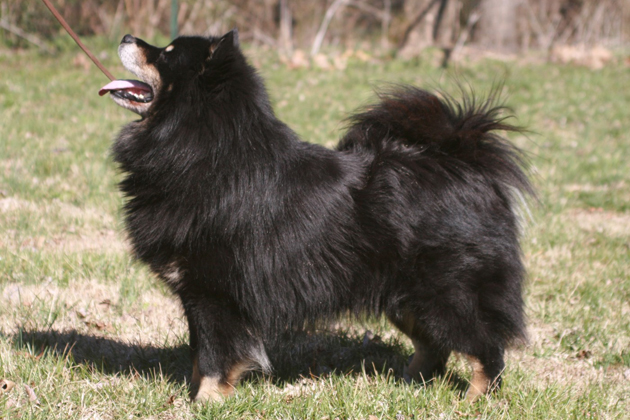 Finnish Lapphund Dog Breed