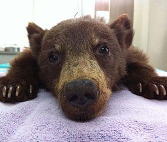Rescued bear cub
