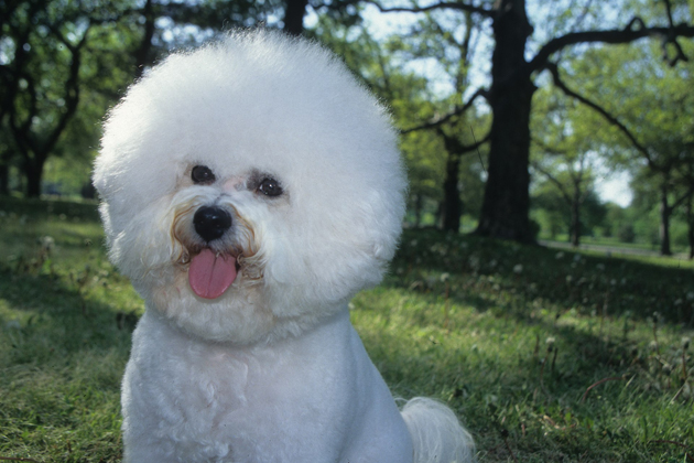 Bichon Frise — Clownish and Curious