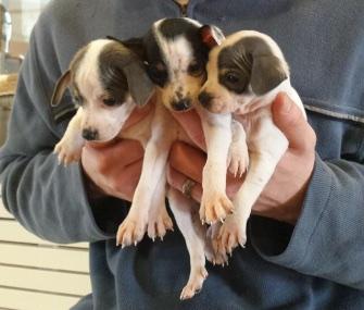 An Australia Shepherd found three Terrier puppies in a plastic bag in a park, saving their lives.