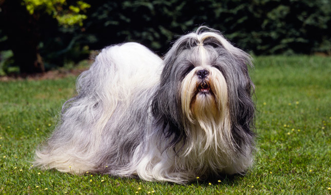 Shih Tzu Dog Breed Information