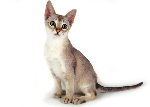 Singapura, a cat breed you've probably never heard of