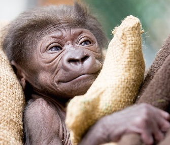 The animal care team at the Woodland Park Zoo is hand raising an infant Western lowland gorilla.