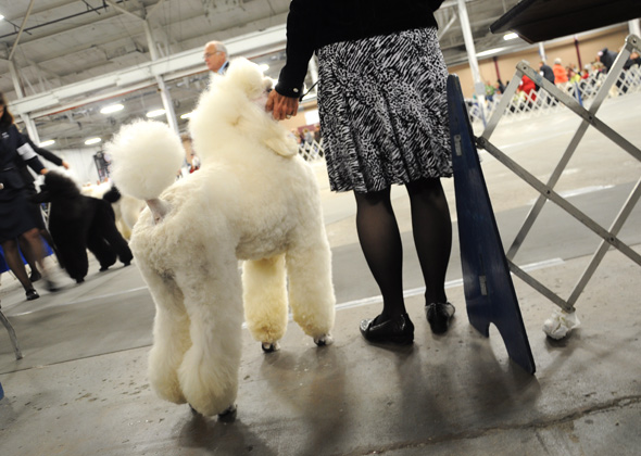 Stepping Into Ring at National Dog Show