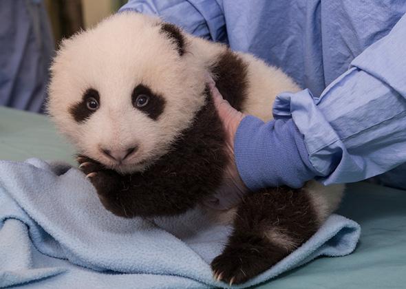 San Diego Panda Cub