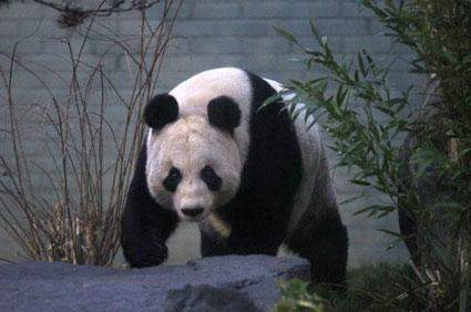 Giant Panda Scotland