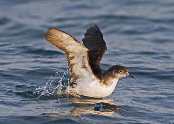 Manx Shearwater bird