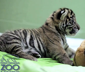 A Sumatran tiger cub makes his debut at the Point Defiance Zoo in Tacoma, Wash.