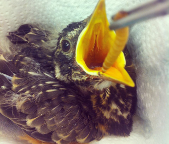 baby robin eating a worm