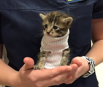 A cute kitten sporting a tube sock sweater was adopted after being rescued from the aftermath of Hurricane Matthew.