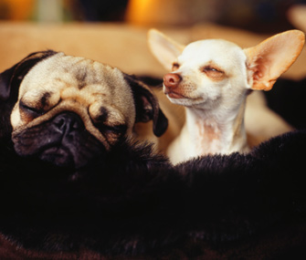 Pug and Chihuahua