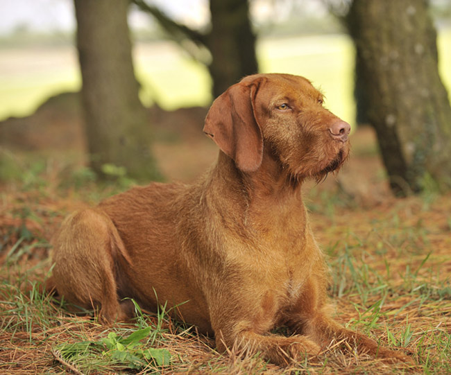 Wirehaired Vizsla Laying in Grass