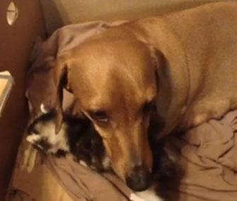 Duchess the Dachshund nurtures a motherless kitten.