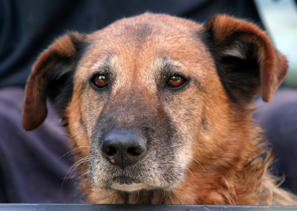 Old Brown Mixed Breed Dog