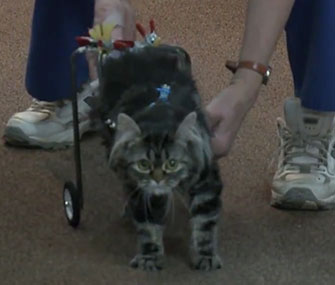Flipper, a 9-month-old kitten, gets help walking from a high school robotics club.