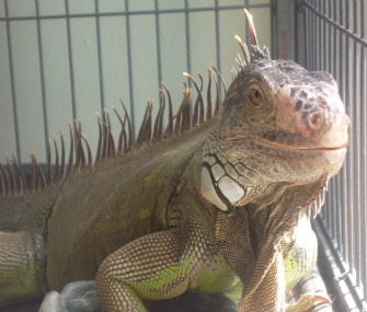 Iguana in cage