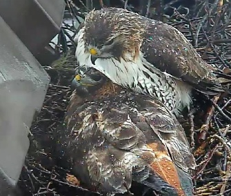 Dad Ezra and mom Big Red shielded their babies from a downpour last week.