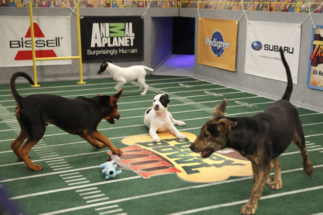 11 Puppies Competing in Animal Planet's Puppy Bowl