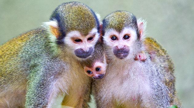 Busch Gardens Tampa's baby squirrel monkey