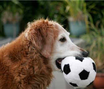 Senior dog and toy