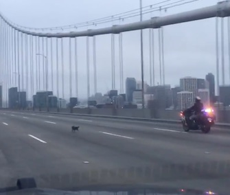 California Highway Patrol officers rescued a Chihuahua from the Bay Bridge on Sunday.
