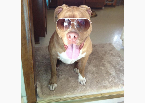 Malacita the Pit Bull in glasses