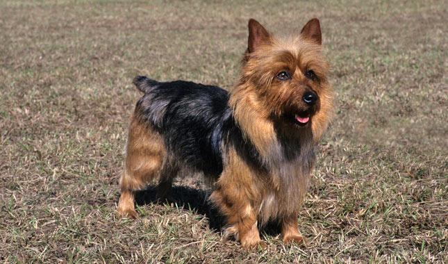 australian terrier breed information