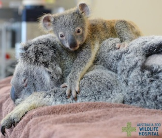 Phantom, a 6-month-old koala joey, stuck by his injured mom's side while she was being treated.
