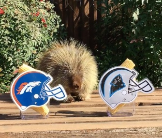 Teddy Bear the talking porcupine predicts the Denver Broncos will beat the Carolina Panthers to take the Super Bowl 50 title.