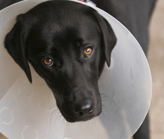 neutered dogs wearing collar