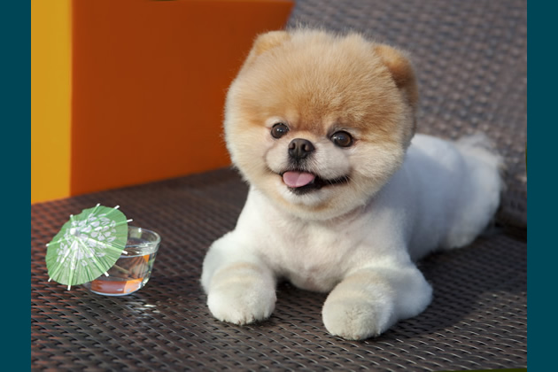 Boo: the World's Cutest Dog