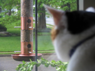 Cat staring at a bird feeder