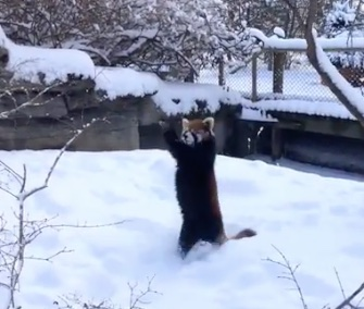 Two adorable red pandas had the time of their lives in the snow at the Cincinnati Zoo.