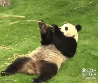 Pandas Hao Hao and Xing Hui made their debut this week at a Belgium zoo.