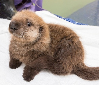 The Shedd Aquarium is asking the public to help name its rescued sea otter pup.