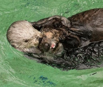 Thelma, 16, takes 5-month-old otter pup Juno for a swim at the Oregon Zoo.