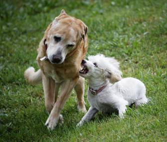 Dog growling at other dog