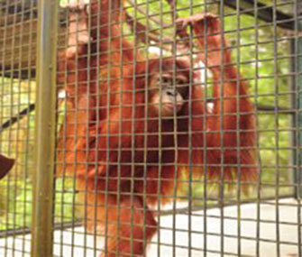 Tsunami the orangutan will wear special eye tracking equipment for the study.