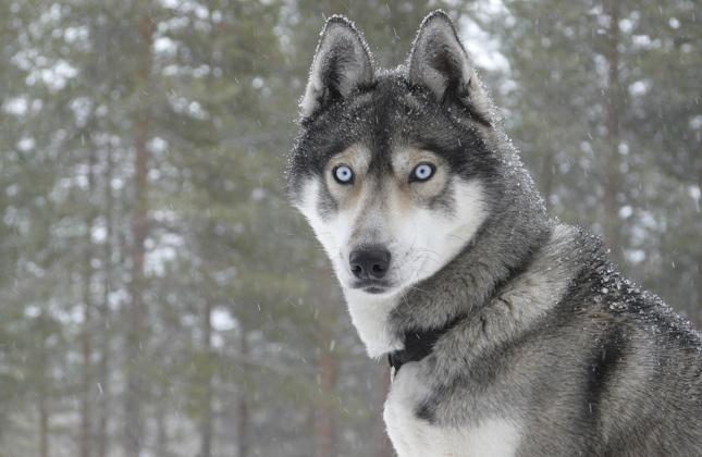 Husky That Looks Like a Wolf