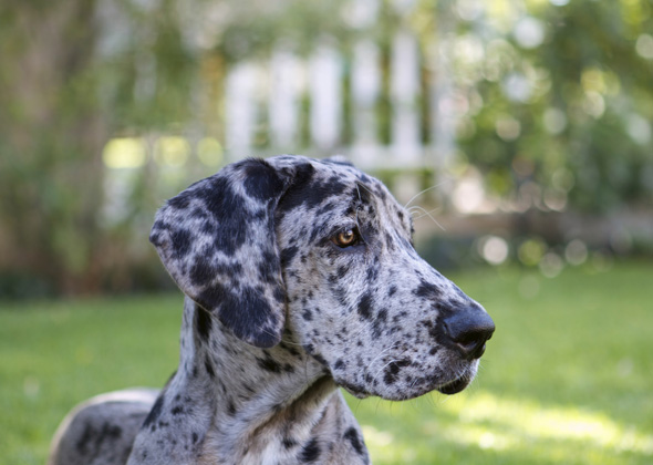 Great Dane with trendy name