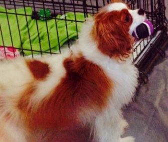 Bentley the dog will be reunited with his owner, Nina Pham, Saturday.