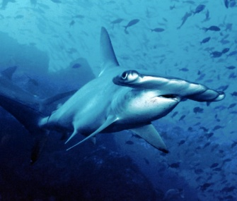 Scientists say they can't tell just from looking at it whether this is a scalloped hammerhead or a Carolina hammerhead — but the two are different species.