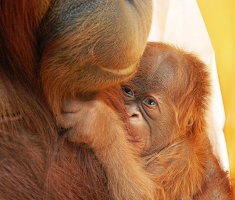 The first baby orangutan born using fertility treatment cuddles with his mom.