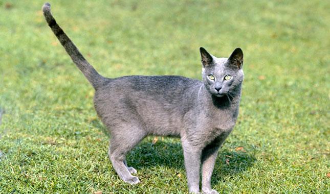 Russian Blue Nebelung Cat Breed Information