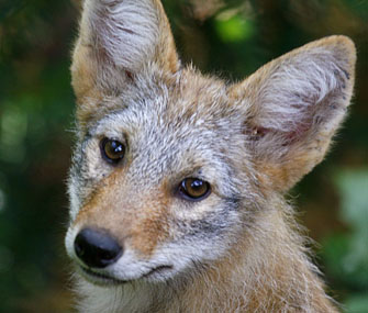 close up of coyote pup
