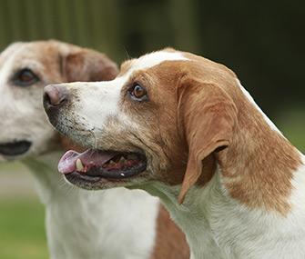 Beagle Closeup Side View