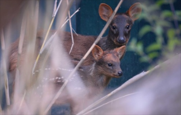 Pudu born at Chester Zoo