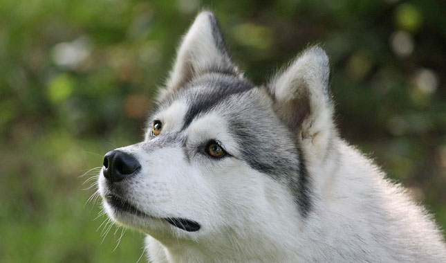 Image Result For Can You Train Siberian Husky Guard Dog