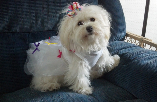 Halo the Havanese wears an adorable dress.